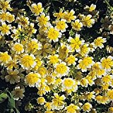 Poached Egg plant - Limnanthes douglasii - 30 seeds