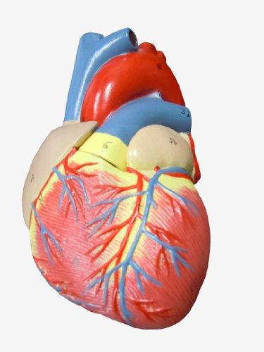 心臓模型 実物大【スタンド付き】 弁 右心房 左心房 右心室 左心室 人体模型