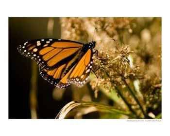 Monarch Butterfly Emerging