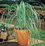 Lawn & Patio - Lemon Grass Plant - Must Have Herb! - Cymbopogon - 4 Pot