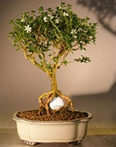 Bonsai Boy's Flowering Mount Fuji Serissa - With Golf Ball serissa foetida