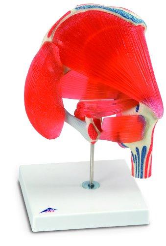 3b-scientific-a881-modello-di-anatomia-umana-articolazione-dellanca-7-pezzi