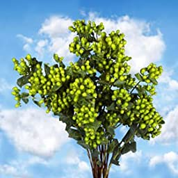 120 Fresh Cut Green Hypericum Flowers | Fresh Flowers Express Delivery | Perfect for Birthdays, Anniversary or any occasion.