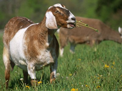 Targeted Grazing with Goats