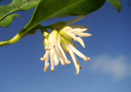 piante-da-giardino-profumata-inverno-fioritura-sarcococca-confusa-arbusti-regalo-di-natale