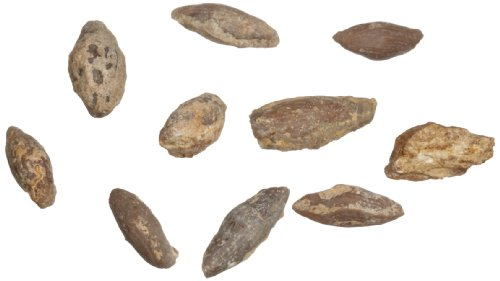 American Educational Protozoa Triticites Fossil (Pack of 10)