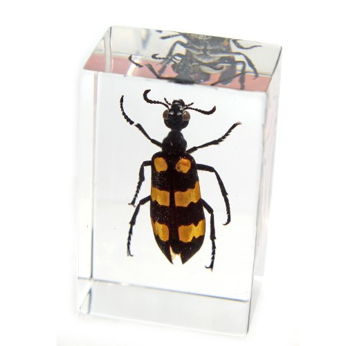 "Blister Beetle Paperweight (1.8x1.1x0.8"")"
