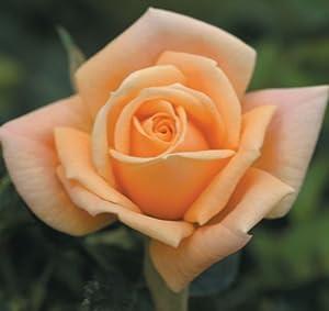 """'Apricot Twist' Miniature Rose - Disease Resistant - 4"""" Pot - Fragrant Flowers"""
