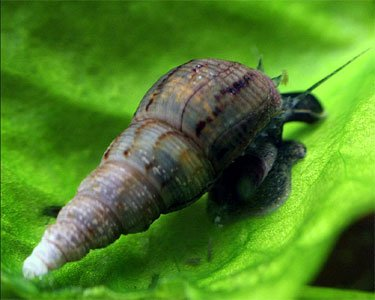 malaysian-trumpet-snails-mts-from-one-stop-aquatics-6-snails-by-one-stop-aquatics