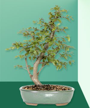 Buy Korean Hornbeam