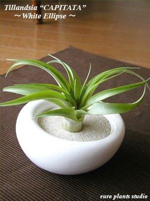 エアープランツチランジア・カピタータ / ホワイトイリプス / AirPlants Tillandsia・CAPITATA / White Ellipse / インテリアグリーン / ミニ観葉植物
