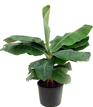 Hirt's Super Dwarf Patio Banana Plant - Musa - Great House Plant