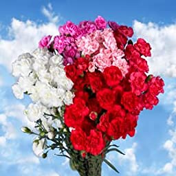 160 Fresh Cut Spray Carnations for Mother\'s Day | Versilia Roses | Fresh Flowers Express Delivery | The Perfect Mother\'s Day Gift