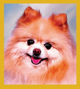 Gift Trenz Pomeranian Portrait Magnetic Bookmark - 1