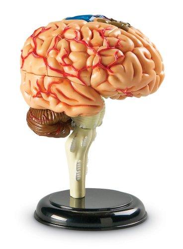 Макет мозга своими руками