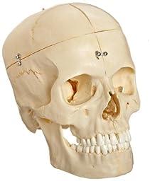 3B Scientific A281 6 Part Bonelike Human Bony Skull Model, 6.3\