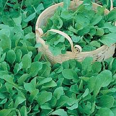 Rocket - Cultivated - 1000 SEEDS [spicy]