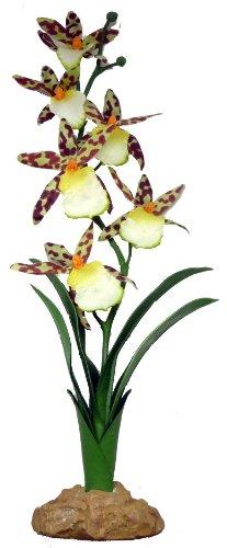 komodo-spider-orchid-40-cm