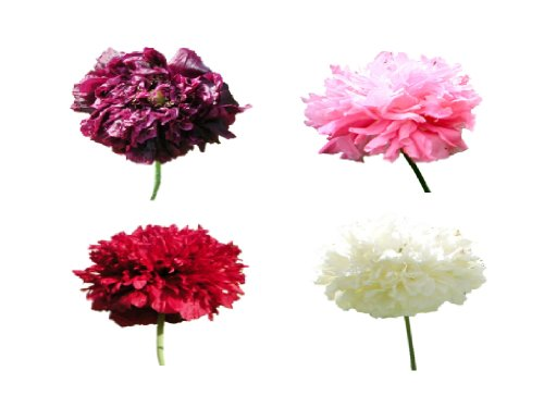 500 Poppy Flower Seeds Heavenly Angels Peony Poppies Mixed One Stop Poppy Shoppe reg BrandB001D6QANG