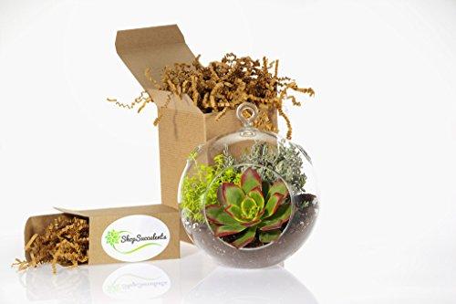 Shop Succulents Globe Succulent Terrarium, Large