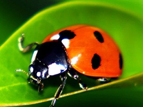150-live-ladybugs-good-bugs-ladybugs-guaranteed-live-delivery