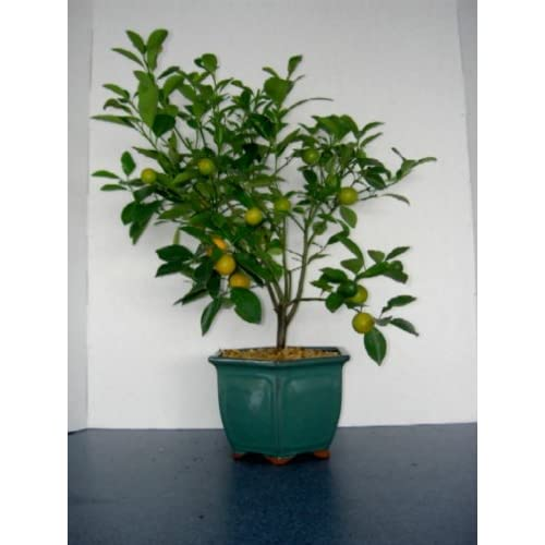 Amazon.com : 2CHIXGIFTS CALAMONDIN DWARF ORANGE BONSAI TREE : Bonsai