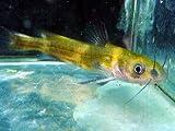 川魚 ギギ 淡水魚【こだわりの生体をお届けします 名生園】