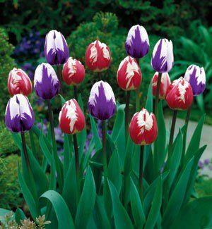 Ripple Duo Triumph Tulip 12 Bulbs - Exclusive/NEW!