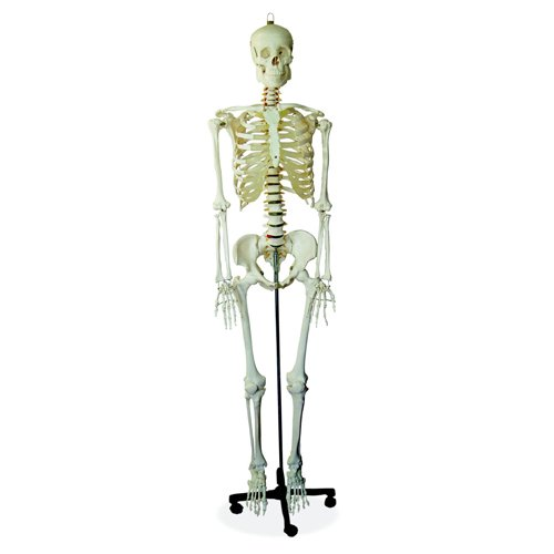 66FIT Human Skeleton - Life Size - 170cm Tall