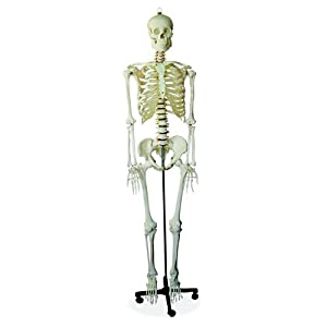 66FIT Human Skeleton - Life Size - 180cm Tall