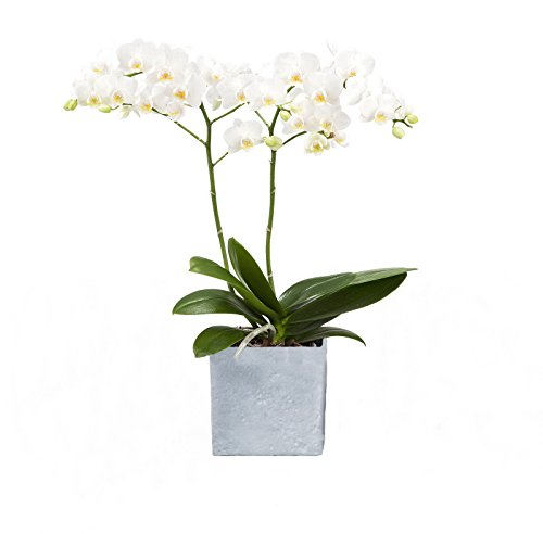amazonde-pflanzenservice-zimmerpflanzen-orchidee-phalaenopsis-weiss-bluhend-2-triebig-1-pflanze-und-