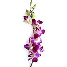 Corona Greens Dendrobium (Purple) Orchid Plants WITHOUT Flowers, Pack Of 50 Plants With Orchid Pot.