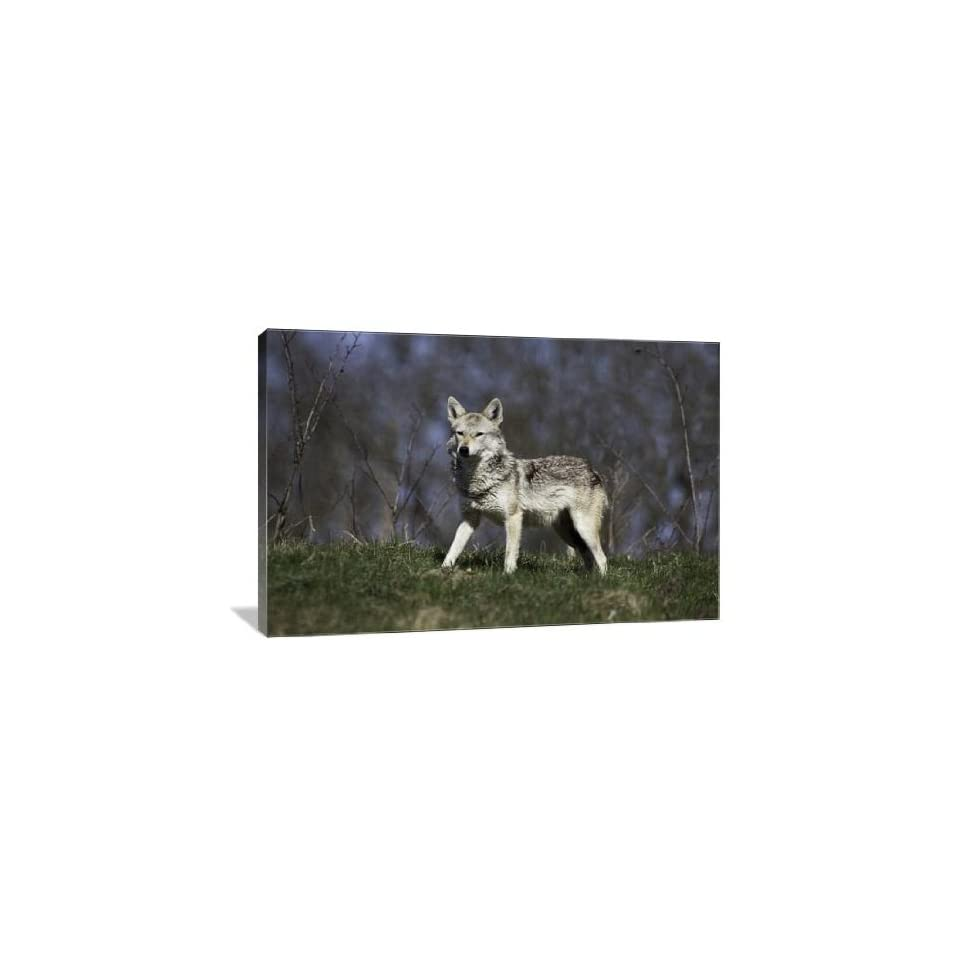 Golden Jackal   Gallery Wrapped Canvas   Museum Quality  Size 36 x 24 by Artsy Canvas