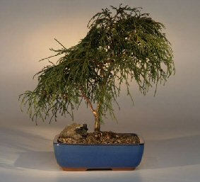 Buy Green Thread Leaf Cypress Bonsai Tree.(chamaecyparis pisifera 'filifera nana')
