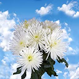 50 Fresh Cut White Fuji Spider Mums | Fresh Flowers Express Delivery | Perfect for Birthdays, Anniversary or any occasion.
