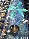 アーウィンマンゴーの苗木(3年木)