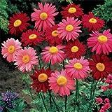 Pyrethrum Mix: 80 Seeds (Perennial, Fresh & Untreated)