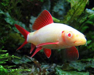 "WorldwideTropicals Live Freshwater Aquarium Fish -2.5 to 3.5 -"" Albino Rainbow Shark - Albino Rainbow Shark - by Live Tropical Fish - Great For Aquariums - Populate Your Fish Tank!"