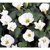 オキザリス:バリアビリス ホワイト3号ポット 4株セット
