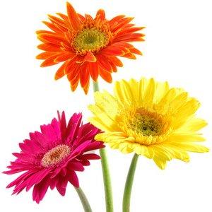 Send Fresh Cut Flowers - 40 Gerber Daisies Wholesale