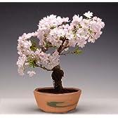 桜盆栽:八重桜(瀬戸焼鉢)*【春に開花】