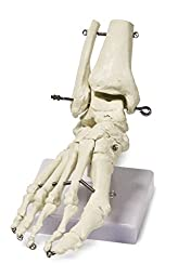 Walter Products B10211 Human Foot Skeleton Model on Base, Life Size, Articulated, 9 x 8 x 5 Inches
