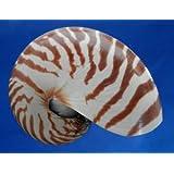 "Natural Chamber Nautilus pompilius Seashell 4.5"""