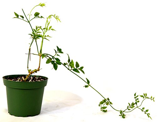 9greenbox pink jasmine plant jasminum polyanthum. Black Bedroom Furniture Sets. Home Design Ideas