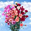 Novelty Spray Carnations Beautiful | 300 Novelty Color Spray Carnations