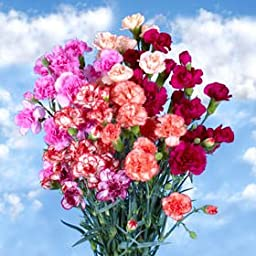 160 Stems of Fresh Cut Novelty Spray Carnations | 640 Blooms | Fresh Flowers Express Delivery | Perfect for Birthdays, Anniversary or any occasion.