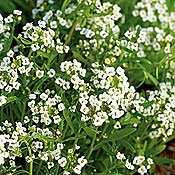 Carpet of Snow Alyssum - 200 Seeds, 2 g - White