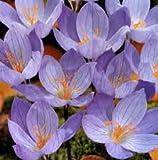 Crocus Bulbs Speciosus Autumn Flowering