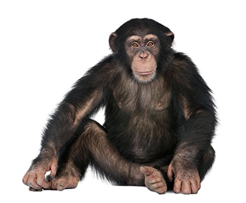 Wallmonkeys Young Chimpanzee Peel and Stick Wall Decals WM18549 (30 in W x 25 in H)