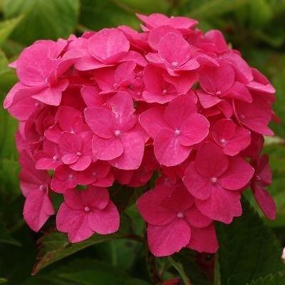hydrangea-macrophylla-ami-pasquier-plant-in-9cm-pot